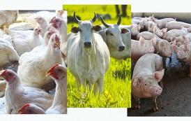 Produção de aves e suínos sobe em MS, mas custos comprometem rentabilidade do produtor